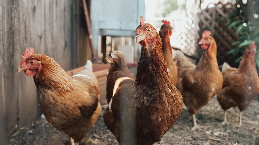 influenza-aviaria,-in-cina-la-prima-infezione-umana-dal-ceppo-h10n3